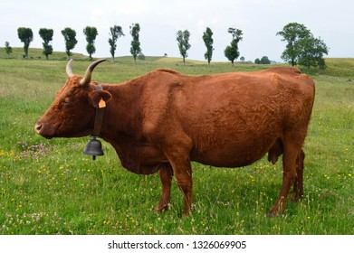 Nice mountain cow of Salers breed in the countryside