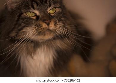 Nice old cat  european brown long fur face close up