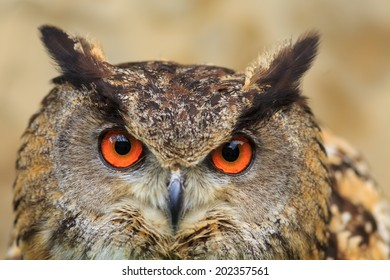 nice owl eagle portrait
