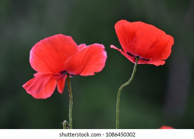 Nice pair of red poppies in a natural environment - Shutterstock ID 1086450302