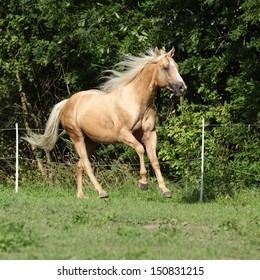 Nice palomino horse with long blond mane running on pasturage