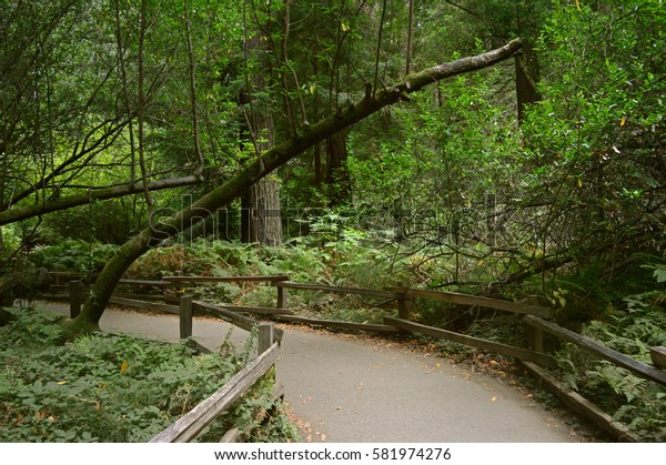 A Nice Path for Hiking in Muir Woods, California, USA