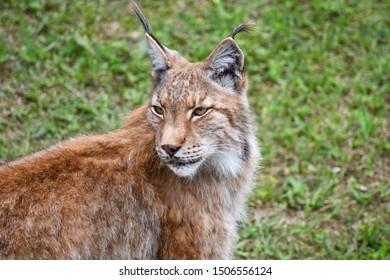 nice photo of the boreal lynx. Animal