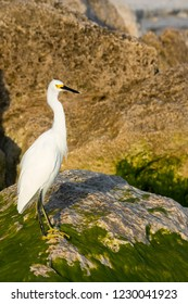 Nice photo of a Snowy Egret (Egretta thula) standing on an algae covered rock on the Gulf of Mexico near St. Pete Beach, Florida.