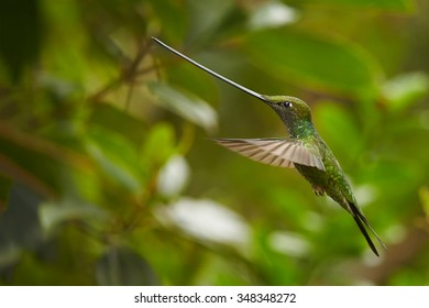 Nice photo of unique Sword-billed Hummingbird Ensifera hovering in the air in its typical natural environment in higher altitude of cloud forest. Green blurred background. Yanacocha, Ecuador, March.