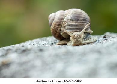A nice photograph of a beautiful specimen of a Roman snail (Helix pomatia) crawling on a rock in Muhu island, Estonia