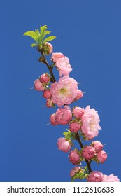 nice ping flowers brunch on blue sky background