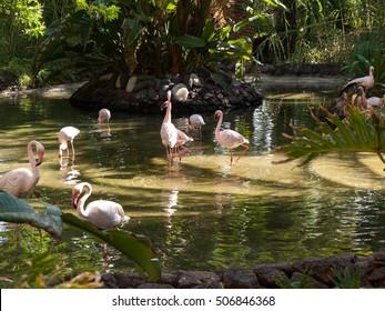 Nice pink big bird Greater Flamingo, Phoenicopterus ruber