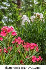 Nice pink oleander in the garden