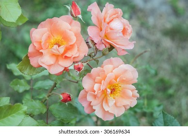 nice pink rose branch  with tree flowers