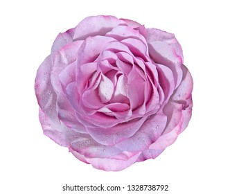 Nice pink roses bud isolated on a white background