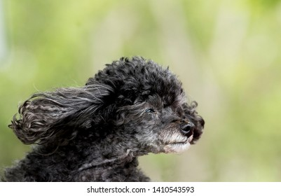 Nice poodle with face facing the wind