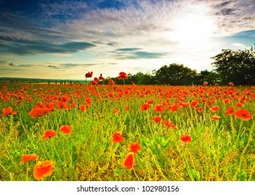 Nice poppy field