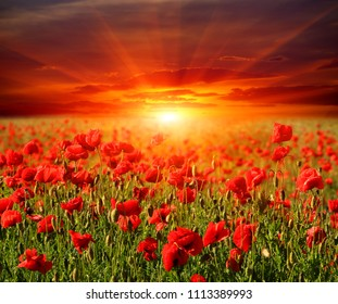 Nice poppy meadow on sunset background