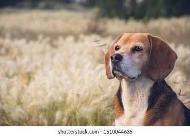 Nice portrait of an adorable purebred beagle sitting on a grassy autumn meadow