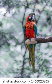 A nice portrait of a beautiful specimen of scarlet macaw (Ara macao) at a zoo near San Jose, Costa Rica