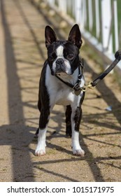 Nice Portrait of bulldog on a leash
