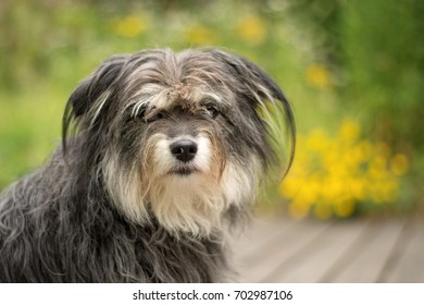 nice portrait of cross-breed long coated grey dog with yellow flowers in the background, dogs head portrait