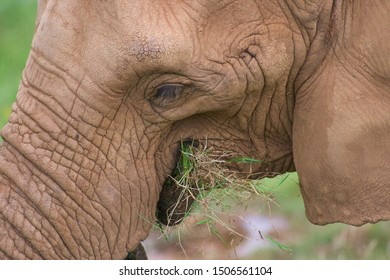 Nice portrait of an elephant while eating closely