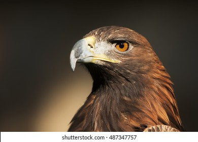 nice portrait golden eagle
