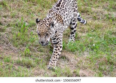 Nice portrait of a jaguar walking