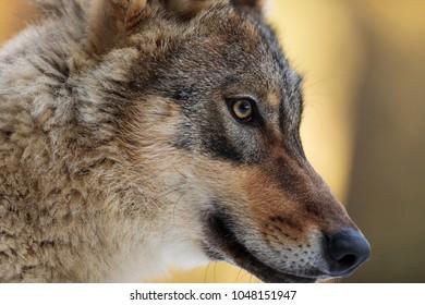 nice portrait wolf in detail