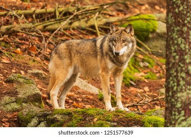 nice is posing on the stone gray wolf (Canis lupus)