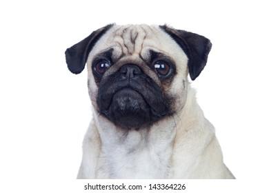 Nice pug carlino dog with white hair isolated