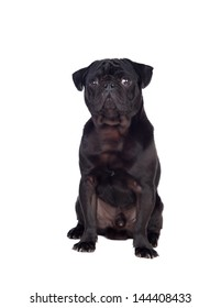 Nice pug dog with black hair isolated on white background