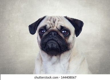 Nice pug dog with white hair on a gray background