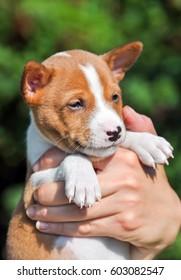 nice puppy dog basenji on the hands