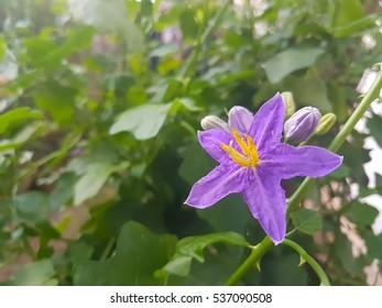 nice purple wild eggplant flowers blooming in nature