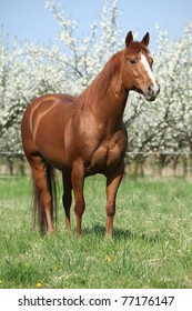 Nice quarter horse in front of flowering plum trees