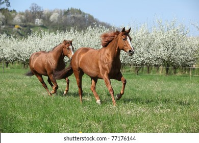 Nice quarter horses running in front of flowering plum trees