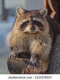 Nice Raccoon (Procyon lotor). Animal Portrait