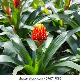 Nice red bromeliad flower