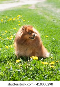 nice red Pomeranian spitz dog on the green grass