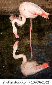 Nice reflection of flamingo during drinking of water