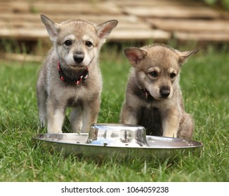 Nice Saarloos wolfhound puppy with dog's bowl