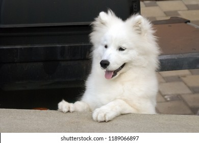 Nice Samoyed pup. The Samoyed is a large herding dog and takes its name from the Samoyedic peoples of Siberia. These nomadic reindeer herders bred the fluffy white dogs to help with the herding.