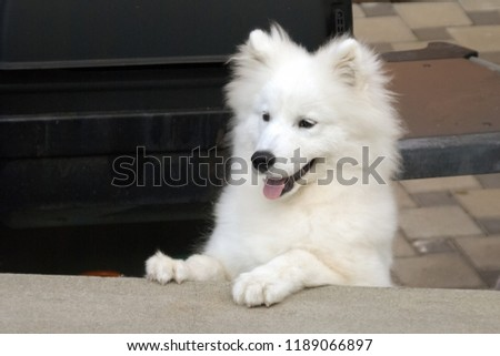 nice samoyed pup samoyed large herding stock photo (edit now