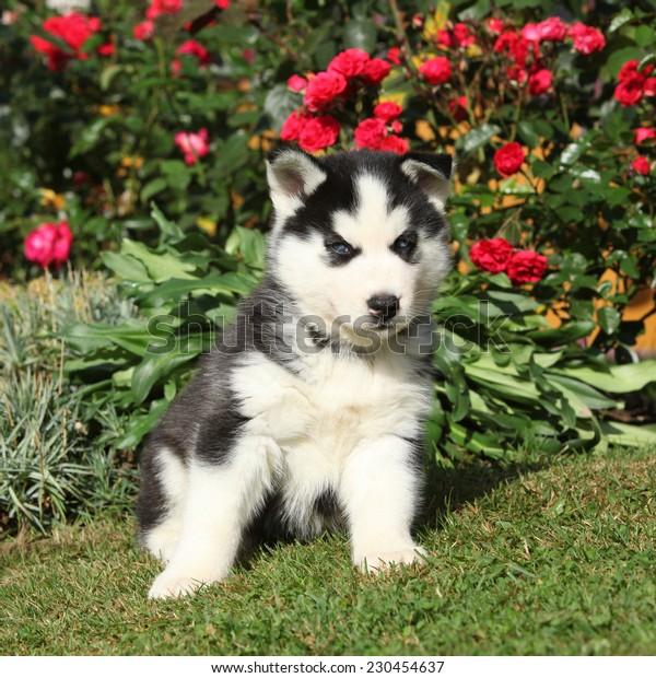 Nice siberian husky puppy sitting in the garden