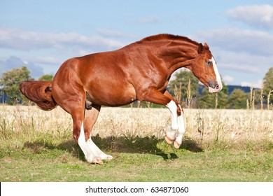 Nice sorrel horse running on the pasture in summer