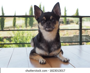 Nice specimen of black chihuahua with lip pulled up.