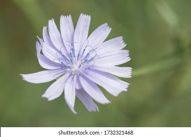 Nice specimen of common chicory. With an unfocused green background. Spring concept.