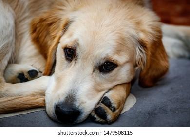 Nice specimen of dog of the race Golden Retriever