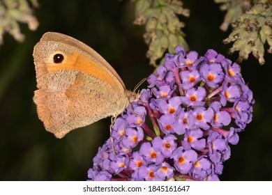 A nice specimen of meadow brown (Maniola jurtina) on buddleja davidii flowers, with natural bokeh background