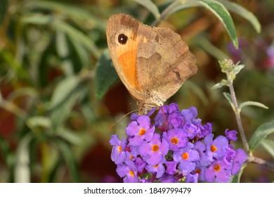 A nice specimen of meadow brown (Maniola jurtina) on buddleja davidii flowers, with natural bokeh background.