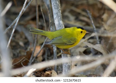 Nice specimen of a yellow warbler on the branches of a bush.