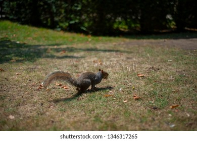 Nice squirrel is running fast on the grass in the park.